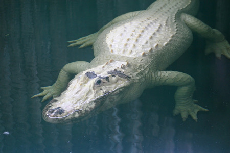alligator eyes: A white alligator swimming in the water Stock Photo