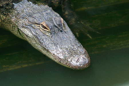 alligator eyes: A close-up of an alligator in water. Stock Photo
