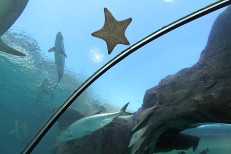 A Starfish on the glass of an aquarium tunnel photo