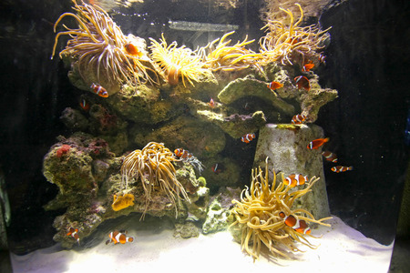 Many clownfish swimming through the water in a tank