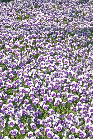 purples: A lot of white and purples pansies