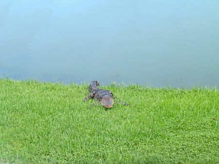 An alligator relaxing on the grass next to a pond