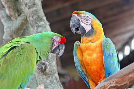 2 parrots, macaws, perched on a tree