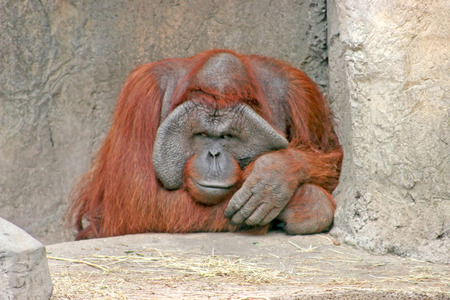 A large orangutan sitting on the rocks