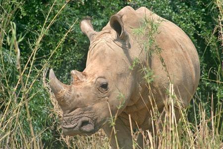 vegetation: A rhino standing in amongst the vegetation Stock Photo
