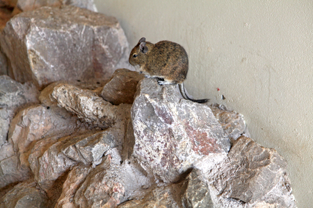 A Mongolian gerbil sitting on some rocks
