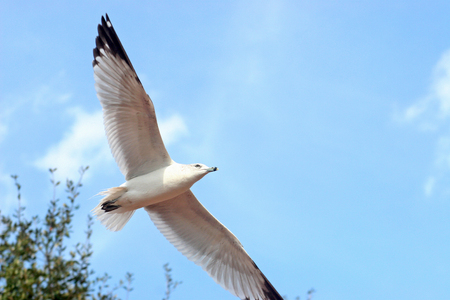 wingspread: A seagull is flying through the sky