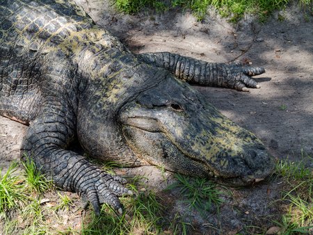 An alligator laying down on the grass and dirt