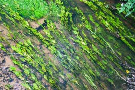 Some green reeds flowing in a stream