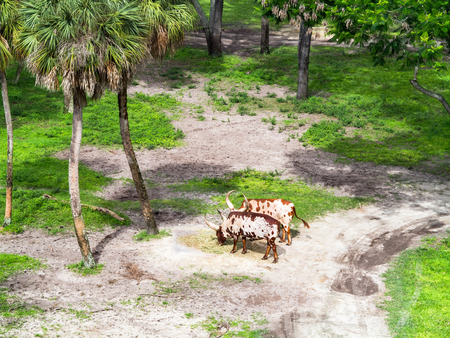 2 ankole cattle with grass and trees