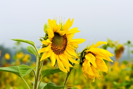 field with sunflowers photo