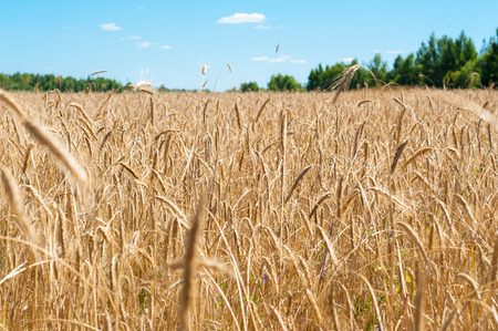seminal: field with ripe wheat Stock Photo