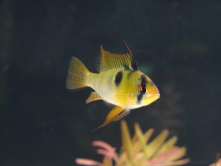 Microgeophagus ramirezi, aquarian small fish from Amazon Stock Photo - 4881492