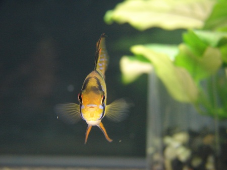 aquarian fish: Microgeophagus ramirezi, aquarian small fish from Amazon  Stock Photo
