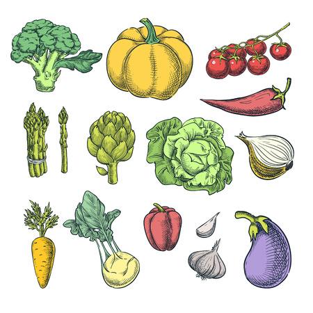 Farm fresh vegetables set. Vector sketch illustration. Autumn farming and harvesting color design elements.