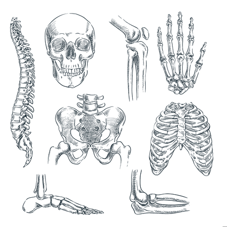 Human skeleton, bones and joints. Vector sketch isolated illustration. Hand drawn doodle anatomy symbols set. Zdjęcie Seryjne - 117369984