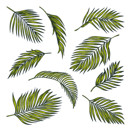 Tropical coconut palm leaves set, isolated on white background. Vector color sketch illustration. Hand drawn tropic nature and floral design elements.