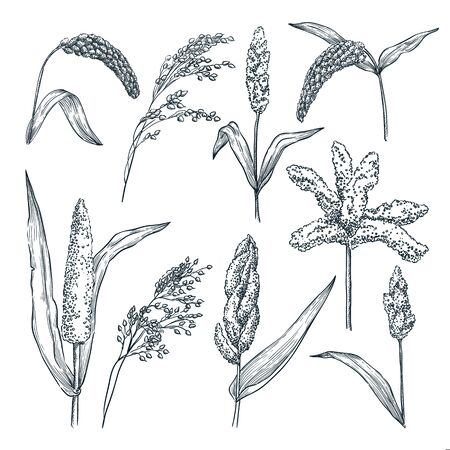 Different type of millet cereal spikelets. Vector hand drawn sketch illustration. Grain crop and agriculture food products.