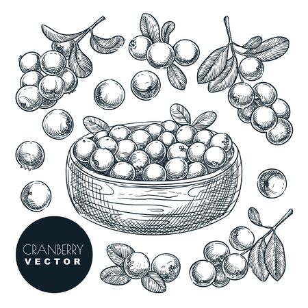 Cranberry berries sketch vector illustration. Cowberry harvest in bowl. Hand drawn agriculture and farm isolated design elements. Foto de archivo - 131765752