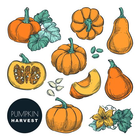 Whole pumpkins and pumpkin slices isolated on white background. Color sketch vector illustration. Autumn gourd harvest. Hand drawn agriculture and farm design elements. Foto de archivo - 131765780