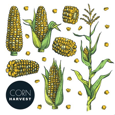 Corn cobs and grain, isolated on white background. Color sketch vector illustration. Cereal agriculture, hand drawn design elements. Autumn maize harvest. Foto de archivo - 131765786