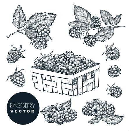 Raspberry berries sketch vector illustration. Blackberry harvest in wooden basket. Hand drawn agriculture and farm isolated design elements. Vector Illustratie