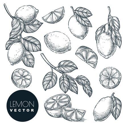 Lemon citrus tropical fruits set. Hand drawn sketch vector illustration. Lime harvest on branch. Citric isolated vintage design elements.