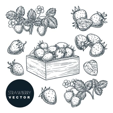 Strawberry berries sketch vector illustration. Sweet berries harvest in wooden basket. Hand drawn garden agriculture and farm isolated design elements. 向量圖像