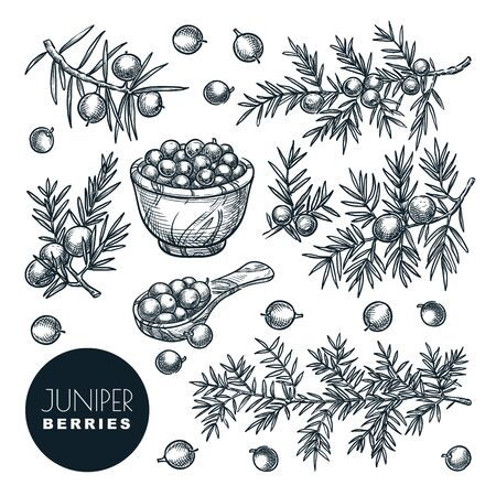 Juniper berries on branch and in wooden basket, sketch vector illustration. Spice, aromatherapy, natural herbal medicine coniferous plant. Hand drawn isolated design elements.