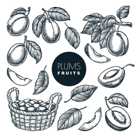 Plums on branch and in basket, sketch vector illustration. Sweet fruits harvest, hand drawn garden agriculture and farm isolated design elements. Vetores