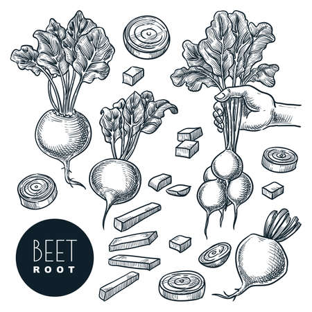 Farm fresh beet, isolated on white background. Sketch vegetables vector illustration. Sliced beetroot, salad veggie ingredient. Hand drawn agriculture harvest isolated design elements