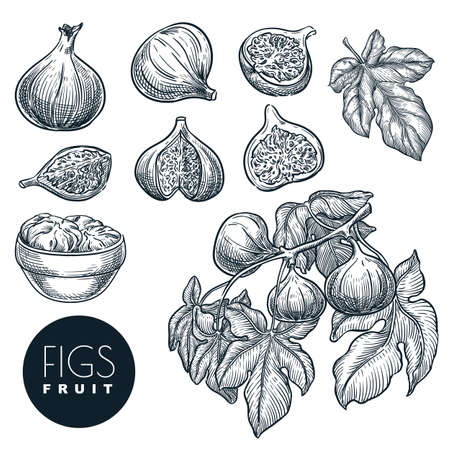 Ripe figs on branch and in dried figs in bowl, sketch vector illustration. Sweet fruits harvest, hand drawn garden agriculture and farm isolated design elements