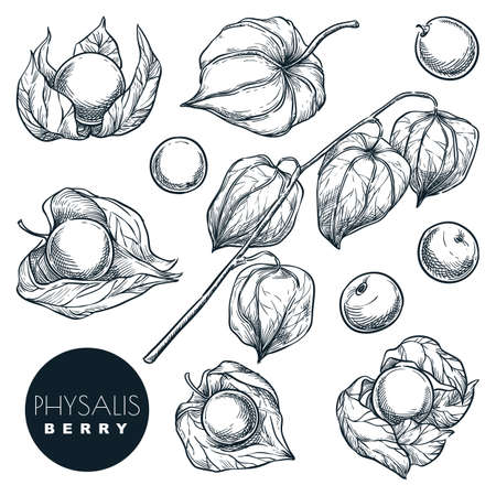 Ripe physalis berries on branch, sketch vector illustration. Sweet gooseberry harvest, hand drawn food isolated design elements