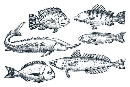 Sea fishes set, isolated on white background. Hand drawn sketch vector illustration. Seafood market food design elements. Doodle drawing of sturgeon, dorada, hake and sardine