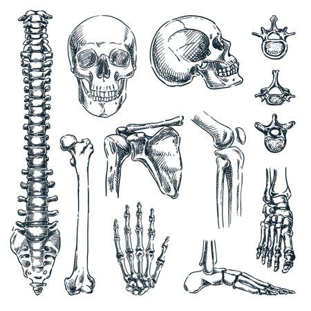 Human skeleton, bones and joints, isolated on white background. Vector hand drawn sketch illustration. Doodle anatomy icons set Stock Illustratie