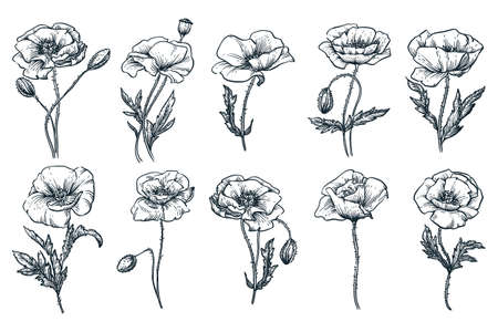 Poppy beautiful blooming flowers set, isolated on white background. Vector hand drawn sketch illustration. Spring or summer plants and floral nature design elements