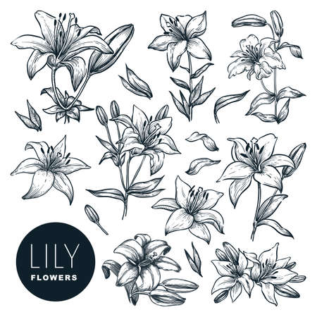 Lily beautiful blooming flowers set, isolated on white background. Vector hand drawn sketch illustration. Spring or summer plants and floral nature design elements Illustration