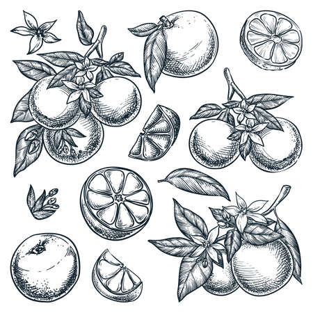 Oranges citrus tropical fruits set. Hand drawn sketch vector illustration. Grapefruit harvest on branch. Citric isolated vintage design elements.