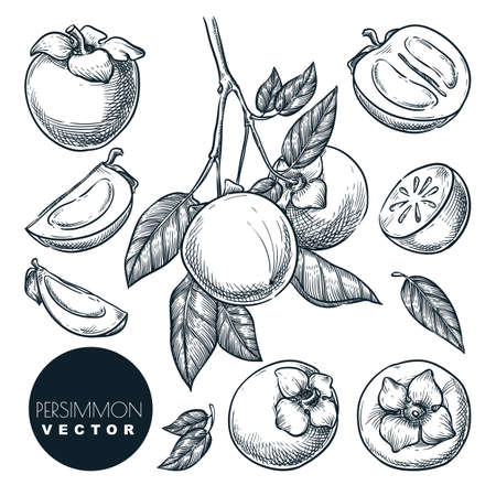 Persimmon set. Hand drawn sketch vector illustration. Tropical fruits on branch. Harvest isolated vintage design elements.