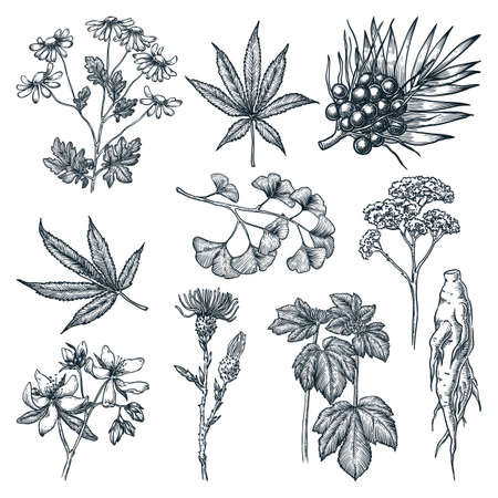 Medicinal herbs and plants set. Natural herbal medicine or cosmetics ingredient sketch vector illustration. Hand drawn isolated design elements