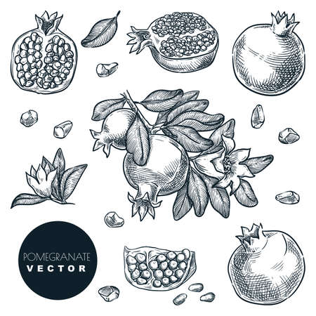 Pomegranate tropical fruits set. Hand drawn sketch vector illustration. Harvest on branch, isolated vintage design elements.