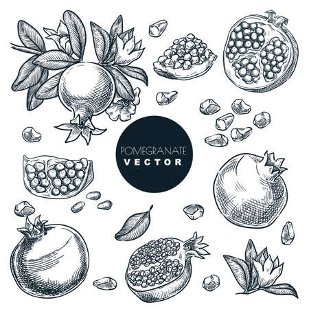 Pomegranate, grains, seeds and fruits on branch, isolated on white background. Vintage tropical design elements set. Hand drawn sketch vector illustration
