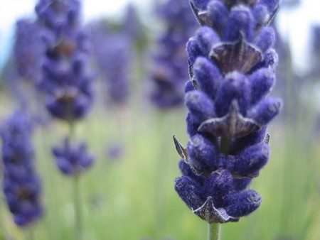 Macro picture of a lavender field in Port Townsend Washingtion