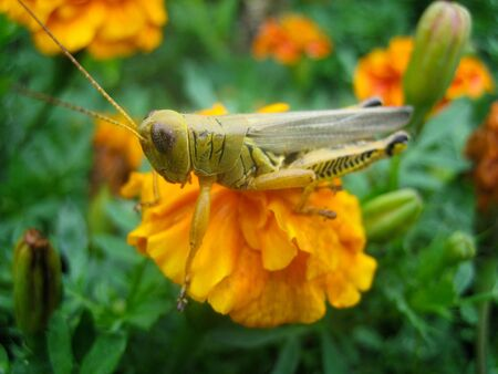 A grasshopper caught perching on top of an orange flower photo