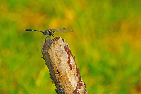 Dragonfly and wooden stake on meadow backgrounds