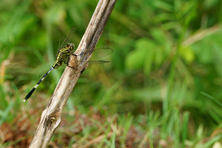 Dragonfly (Anisoptera) cling to dry branch