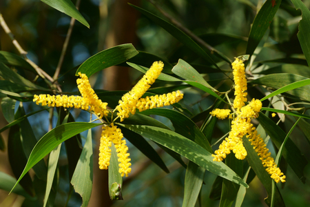 Acacia yellow flowers bloom in autumn morning