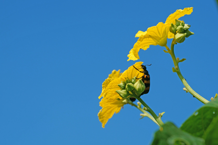 Orange blister beetle cling to the luffa flower