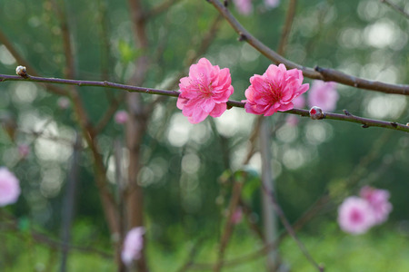 Branch of peach blossom in spring garden
