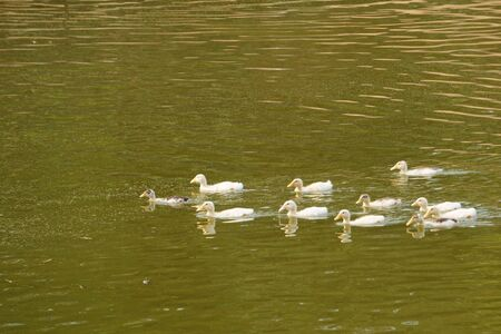 Ducks look for food in the pond. Rural scene 写真素材